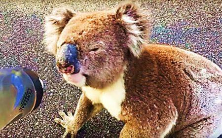 Koala Meets Cyclist Australia